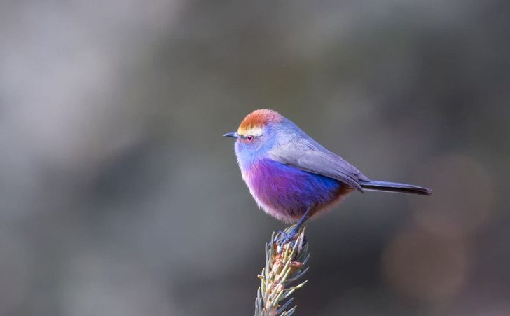 white-browed-tit-warbler-3